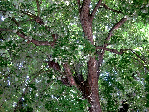 arbreauxcusdargent.jpg