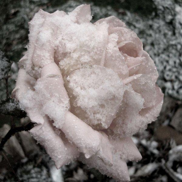 Rose-de-glace-blanche9