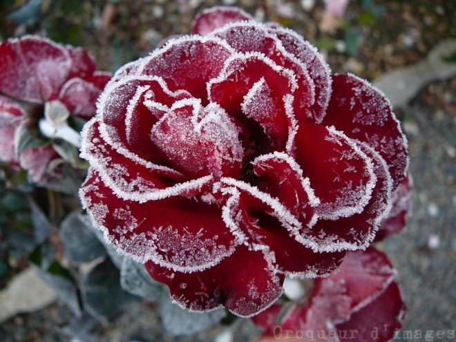 glace-rose-rouge-_82